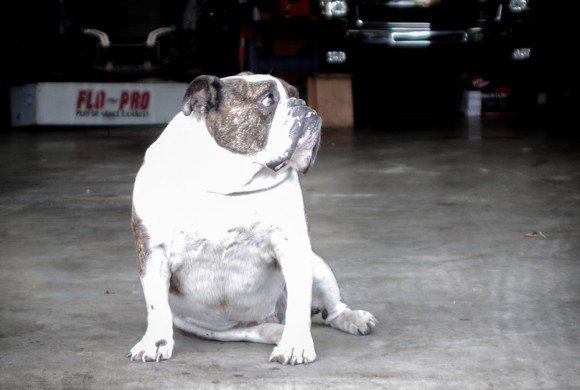 Chevy – The Shop Dog